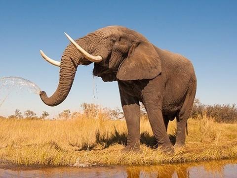 Почему слоны редко болеют раком?