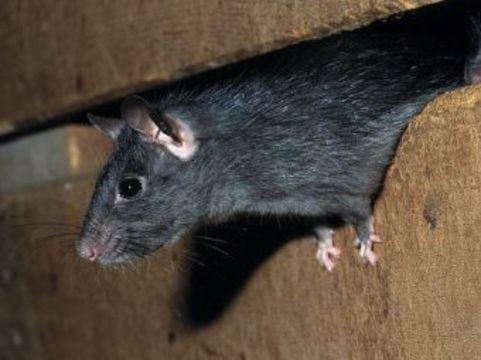 По делу о нападении крысы на детей [обвинили врача]