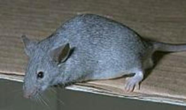 Нетолстеющие мыши помогут создать лекарство от ожирения