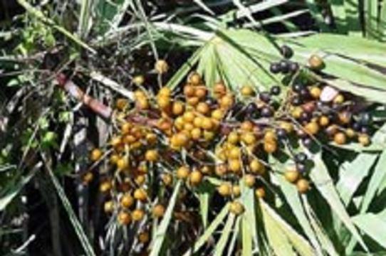 Популярное лекарство из пальмы не эффективно при аденоме простаты