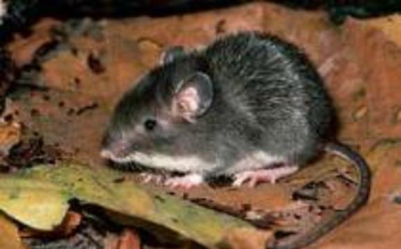 Мыши в доме вызывают астму