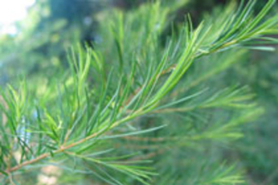 Масло чайного дерева может вызвать [рост груди у мальчиков]