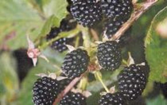 Ученые нашли самую полезную ягоду