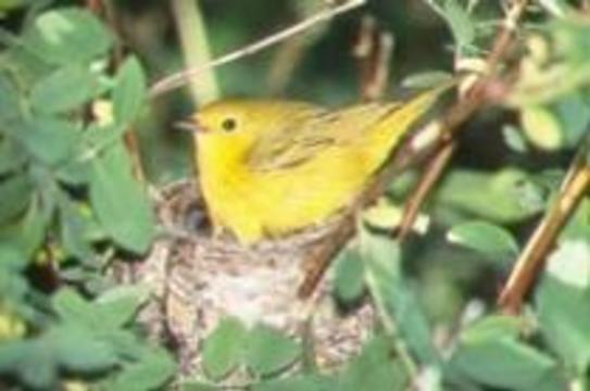 Певчие птицы помогают понять, как устроена человеческая речь