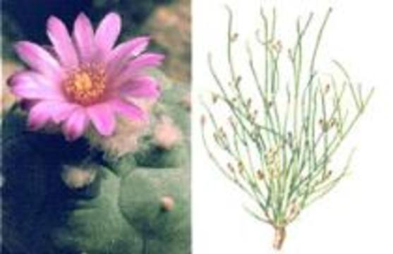 Гражданам запретили выращивать наркотические кактусы