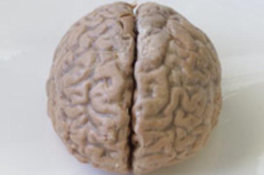 Умственные способности зависят от размера мозга