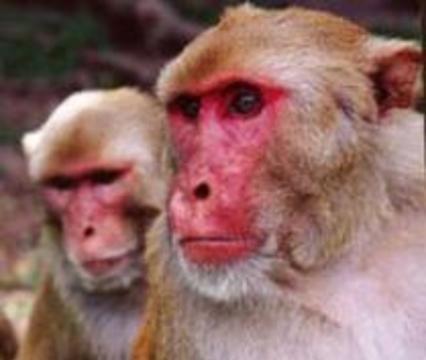 В обезьянах нашли лекарство от СПИДа