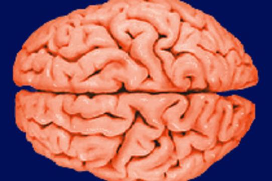 Обнаружены новые особенности [структуры мозга педофилов]