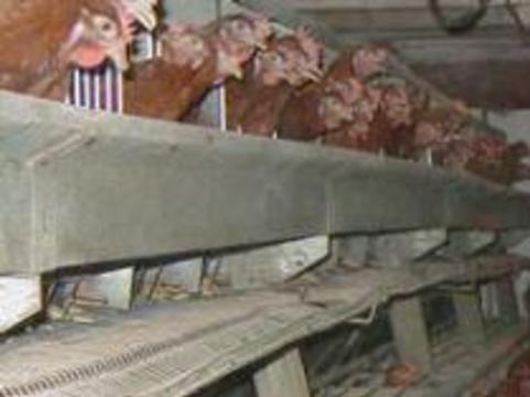 Около 140 тысяч кур уничтожат из-за эпидемии птичьего гриппа
