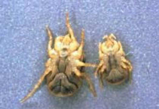Клещи заразили лихорадкой двух человек