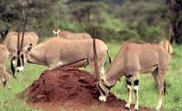 Коровье бешенство занесли в Великобританию африканские антилопы