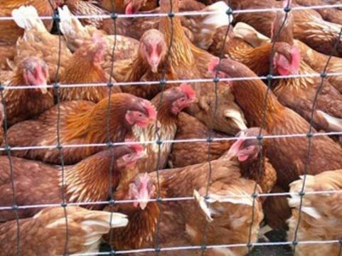 Число жертв птичьего гриппа в Китае [за двое суток выросло втрое]