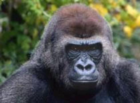 Зараженное мясо гориллы стало причиной вспышки лихорадки Эбола