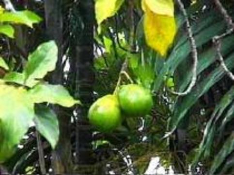 Авокадо защищает печень от токсинов