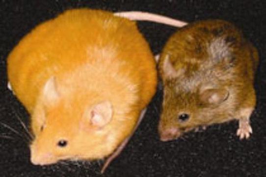 Соевая диета спасла мышей от наследственного ожирения