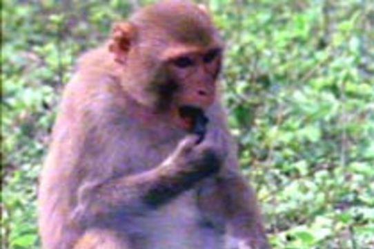 Создана [обезьянья модель болезни Гентингтона]