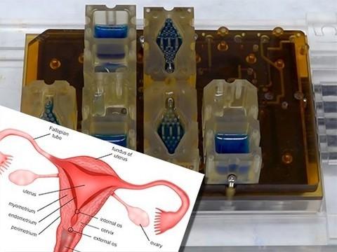 Ученые создали 3D-модель женского цикла на чипе