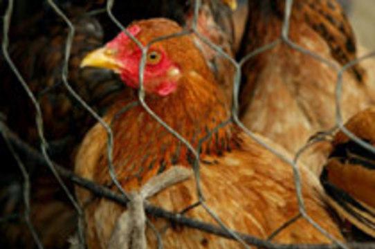 В Турции зарегистрированы новые жертвы птичьего гриппа