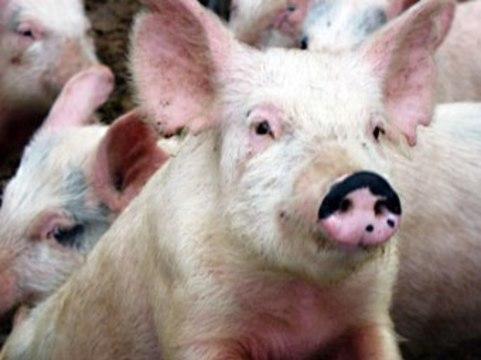 Легкие свиней сделали [пригодными для пересадки человеку]
