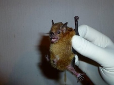 [Новый вирус гриппа] обнаружили у летучих мышей