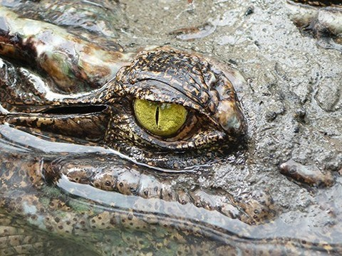 Для крокодилов характерен однополушарный сон