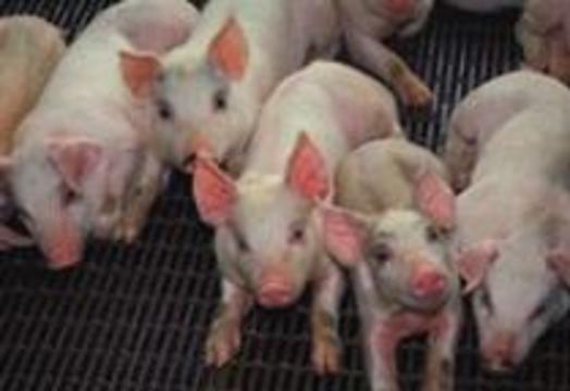Свиньи-мутанты обеспечат человечество органами