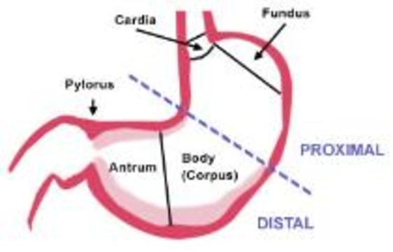 Создан виртуальный желудок