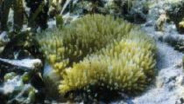 Рассеянный склероз будут лечить ядом актинии