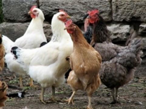 Китайский птичий грипп [снова завезли в Гонконг]