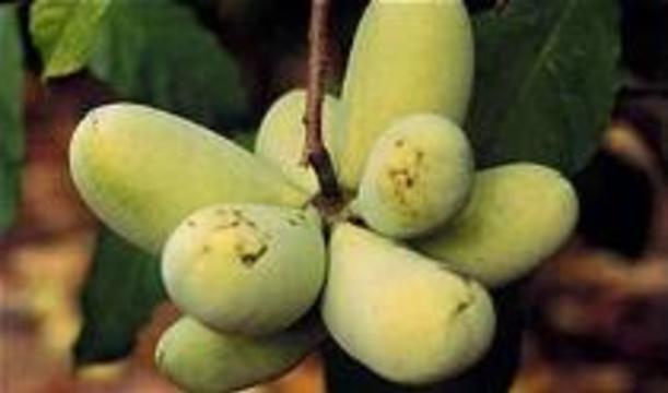 Из папайи будут делать лекарство от рака
