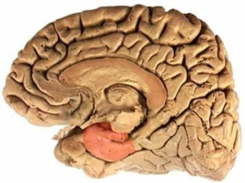 Мозг женщин [увеличивается перед овуляцией]