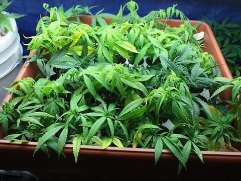 Употребление марихуаны по рецепту врача вырастить траву марихуану