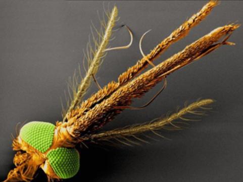 Австралийцы заразят комаров вольбахией [для профилактики лихорадки денге]