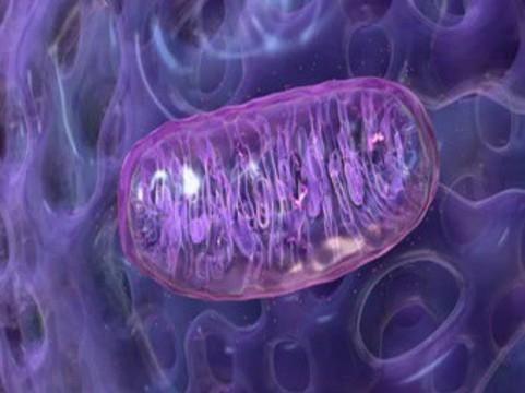 Антиоксидантная «настройка» митохондрий [защищает почки при пиелонефрите]