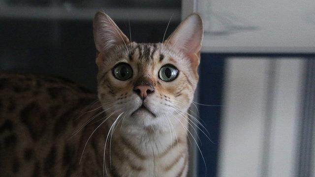 Кошки могут передавать COVID-19 друг другу