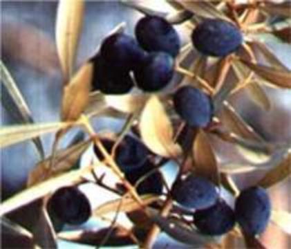 Оливковое масло предупреждает развитие рака толстой кишки